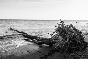 Fallen tree with roots on a seashore