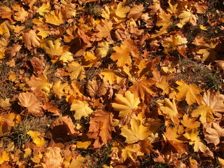 Carpet of yellow leaves