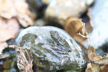 Palawan Wood Frog (Rana sanguinea) in Palawan Island