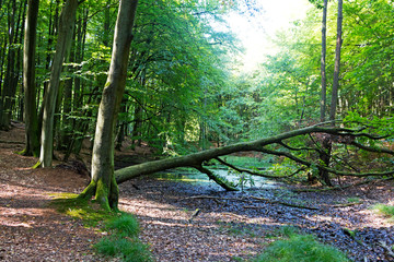 Fallen tree over a stream in forest