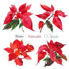 Set of Poinsettia flowers.Vector  illustration
