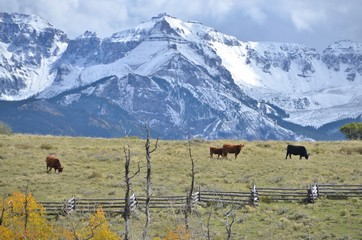 Cattle in the San Juan Mountains