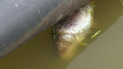 Dead Fish, Death, Plague, Pollution