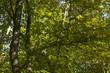 canvas print picture - Wald - Lichtdurchflutete Blätter von Laubbäumen