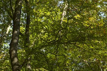 Wald - Lichtdurchflutete Blätter von Laubbäumen