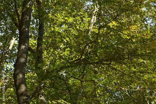 canvas print picture Wald - Lichtdurchflutete Blätter von Laubbäumen