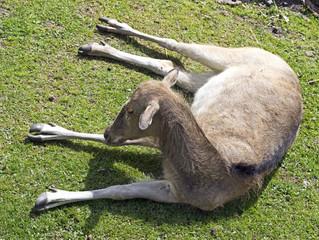 Pere David`s deer