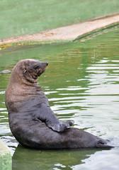otaria o leone marino