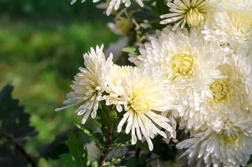 white chrysanthemums
