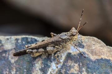 Grasshopper perching on stone