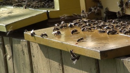 Honey bee at the hive entrance expell drones and coolling hive