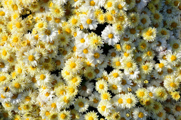 chrysanthemum flowers background