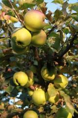 Apfelbaum kurz vor der Ernte - Hochformat