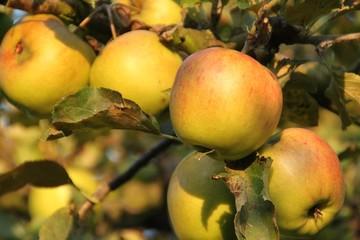 Apfelbaum kurz vor der Ernte