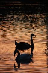 Schwäne im See bei Sonnenuntergang