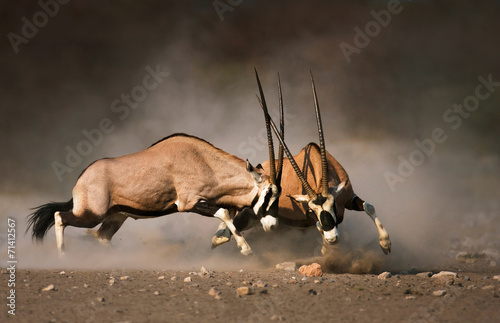 Fotobehang Antilope Gemsbok fight