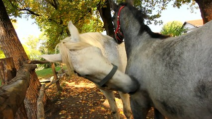 two horses scratching