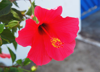Red hibiscus on the street in Morocco