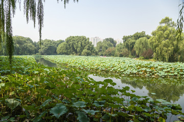 Beijing. Pond, overgrown with lotus flower in the city park