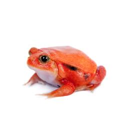 Madagascar tomato Frog isolated on white