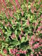 Flowers Knotweed or Polygonaceae in Netherlands.