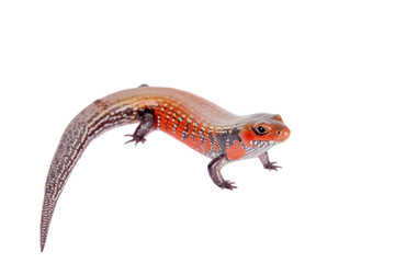 Fire Skink isolated on white