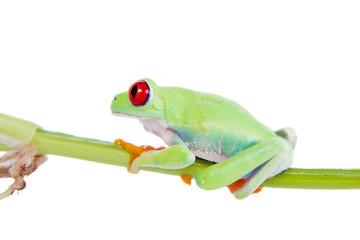 Beautiful red eyed tree frog on white background