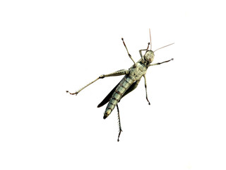 Carolina Locust against a white background