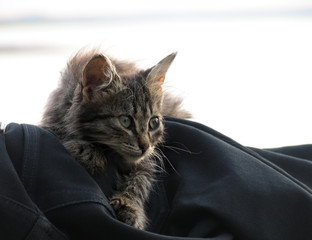 Pets. Beautiful fluffy brindle kitten with green eyes.