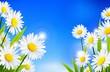 Beauty daisy flowers background