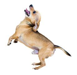 Barking Russkiy Toy Terrier