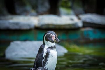 Wunderschöner wilder Pinguin