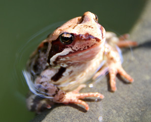 Common frog (Rana temporaria) basking in the sun on the edge of