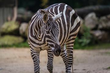 Wunderschönes wildes afrikanisches Zebra