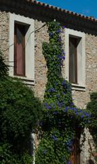 Fleurs bleues, ipomée