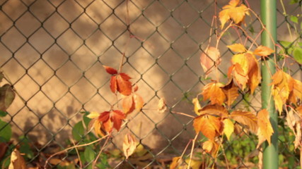 autumn on fence