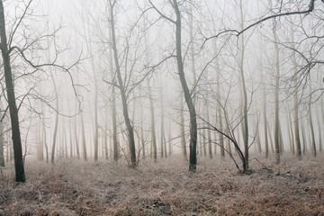 Filari di alberi in autunno avvolti dalla nebbia