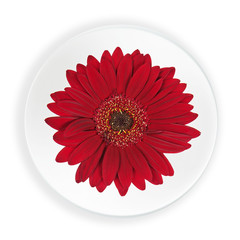 Red Gerbera Flower on Plate Isolated on White Background.