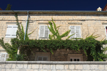 Vine on the wall under the windows