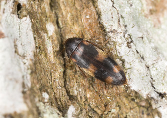 False darkling beetle, Orchesia fasciata on wood