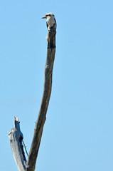 Laughing kookaburra - Australian Birds