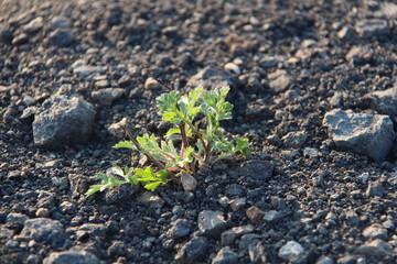 Pflanze im Steinbruch