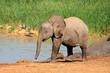 Baby elephant at a waterhole, Addo Elephant National Park