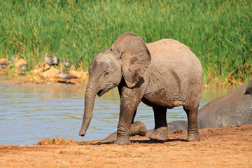 Baby elephant at a waterhole, Addo Elephant National Park