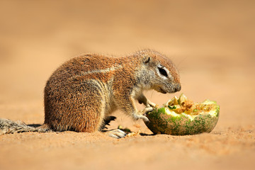 Feeding ground squirrel, Kalahari desert