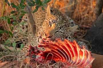 Feeding leopard