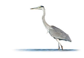 Grey Heron on White