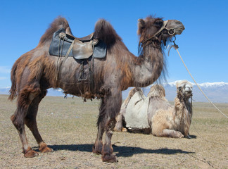 Bactrian camel saddled for riding