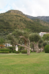 old olive trees in the park, Montenegro