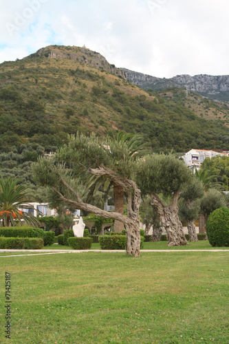 Tuinposter Olijfboom old olive trees in the park, Montenegro